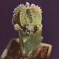 Aztekium ritteri, a rare and difficult cactus