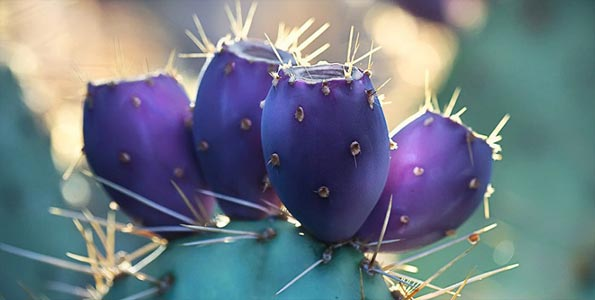 Prickly-pear-cac