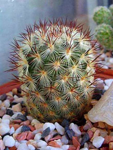 Types of cactus: Mammillaria microchelia
