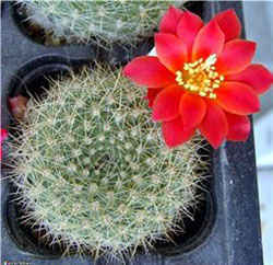 Types of cactus: Rebutia sp. uebelmann